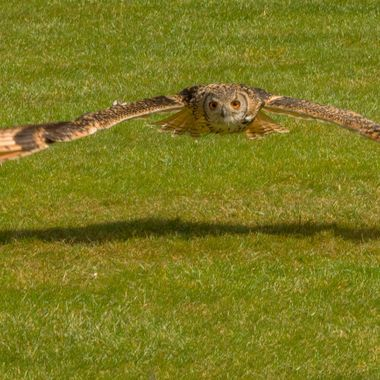 A bird of prey glides silently, demonstrating its powers of concentration