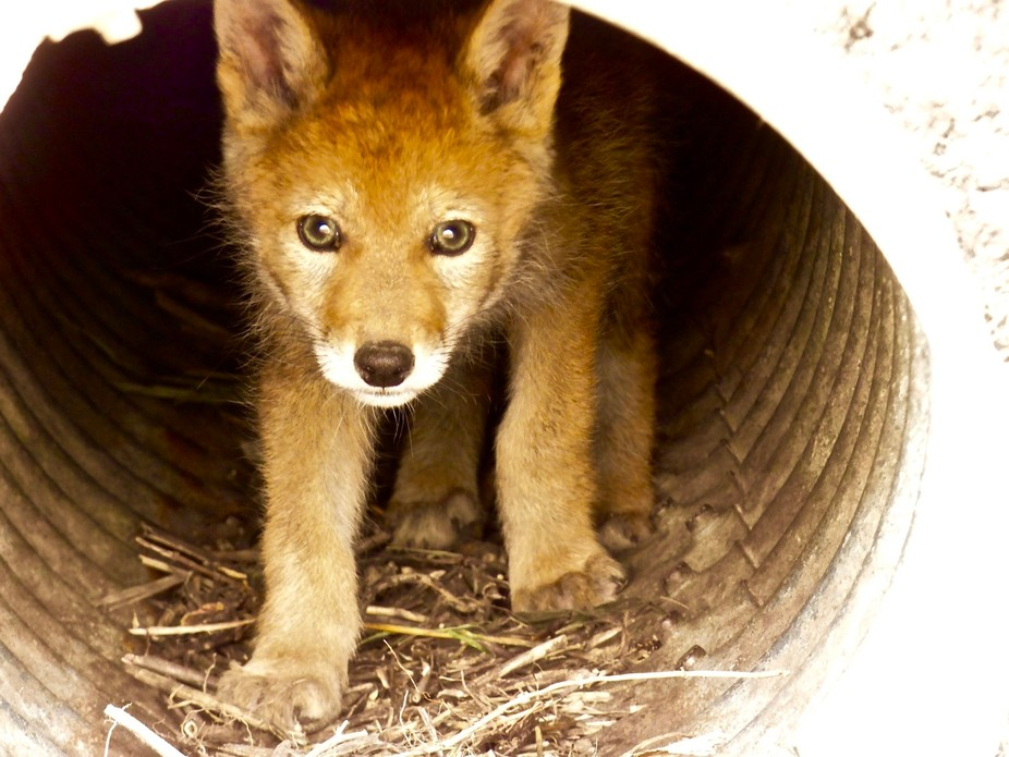 A baby coyote in a culvert not far from our house.