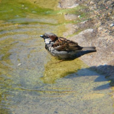 Male Sparrow taking a dip.