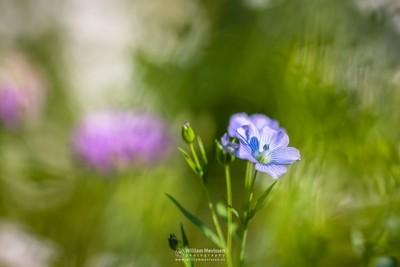 In A Flower Meadows