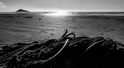 Kelp tangle on the beach