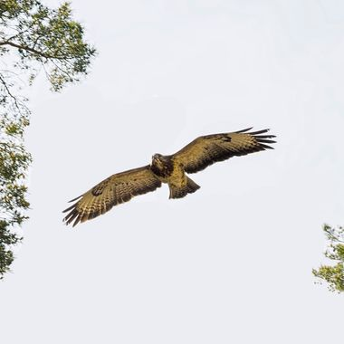 A buzzard flying between trees