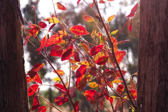 Autumn Leaves between tree trunks