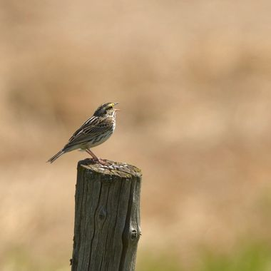 Savannah sparrow singing on a post near my home
