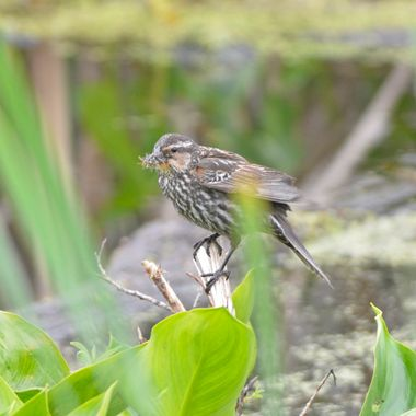 Female redwing blackbird with a mouthful of insects