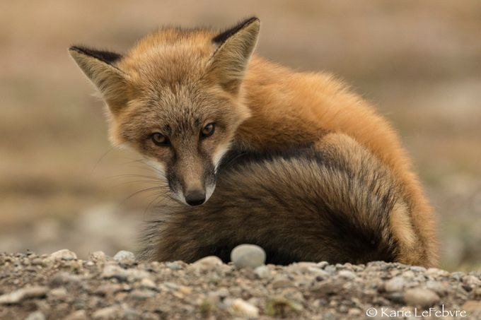 Red Fox by KarieLeFebvre
