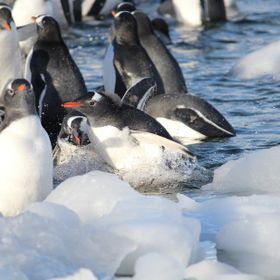 A marine bird, a penguin chick, still dotted with fluffy down, frolics in between large chunks of ice that crowd the shore on Danco Island, Antar...