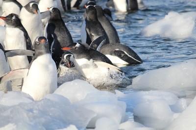 Frolicking Penguin