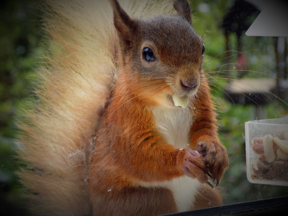 I wake up to see this absolutely gorgeous male squirrel on my window sill helping himself to some...