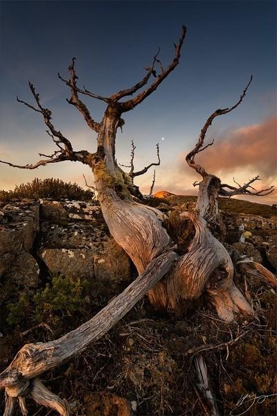 Moonrise Over Pencil Pine.