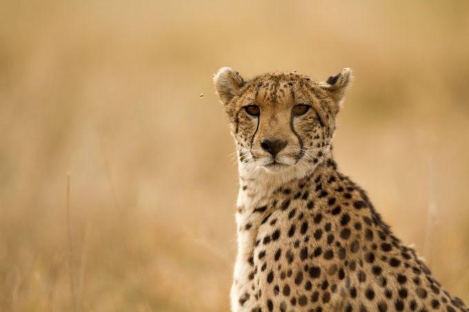 Cheeta by devonvanhoffen - Rule Of Thirds Photo Contest v3