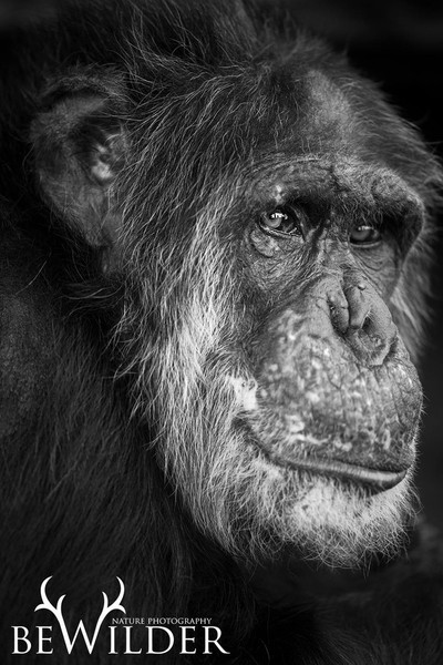 Tubman ( Captive and rescued chimp)
