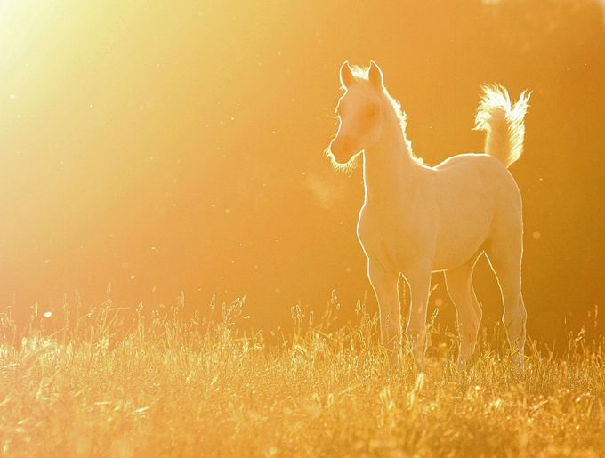 Golden Foal by CarpeDeeM - Colorful And Bright Photo Contest