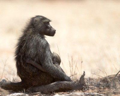 Baboon, mother & child