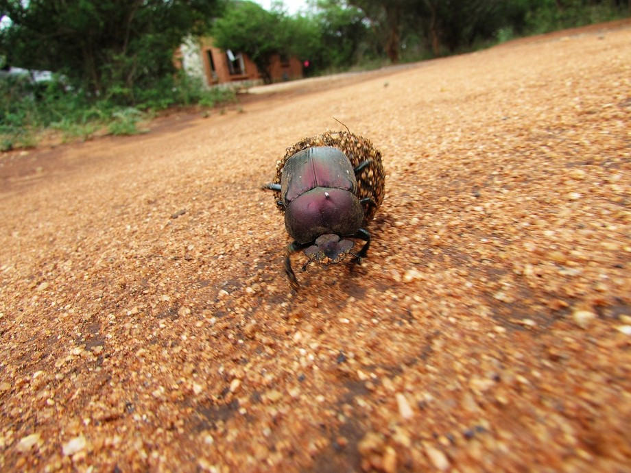 I was lucky enough to get a shot of this dung beetle rolling a ball containing its eggs in the di...