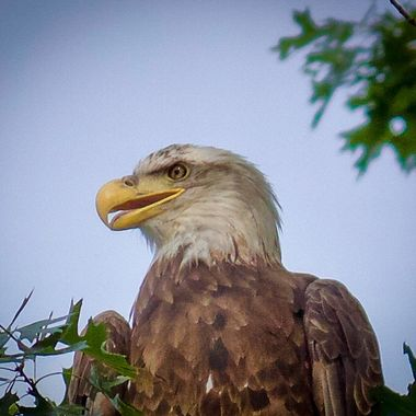 Close encounter. I have not seen this particular Eagle. He was very friendly
