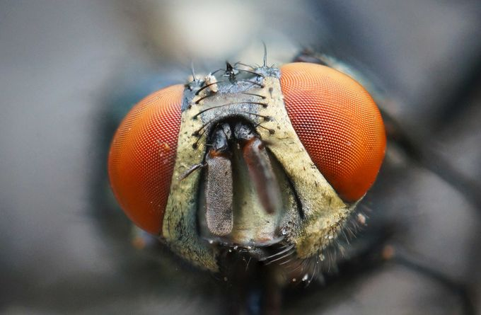 Red-Eyed Fly by collingill2017 - Macro And Patterns Photo Contest