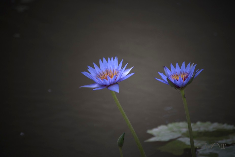 Purple_Water_Lotus