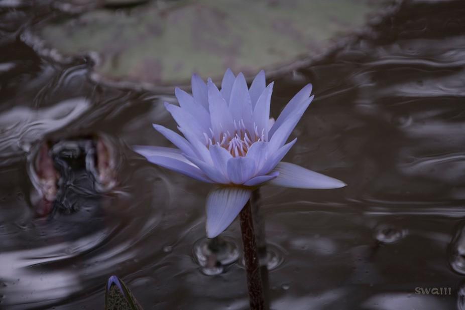 Blue_Water_Lotus_0517