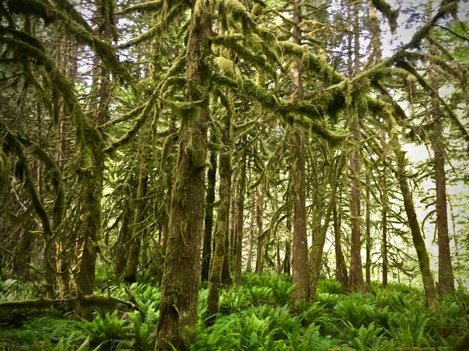 Old mossy trees and new baby ferns