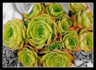Flower-like cactus