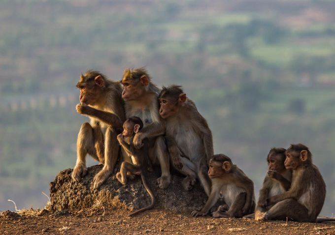 Family together by pramodnikam - Monkeys And Apes Photo Contest