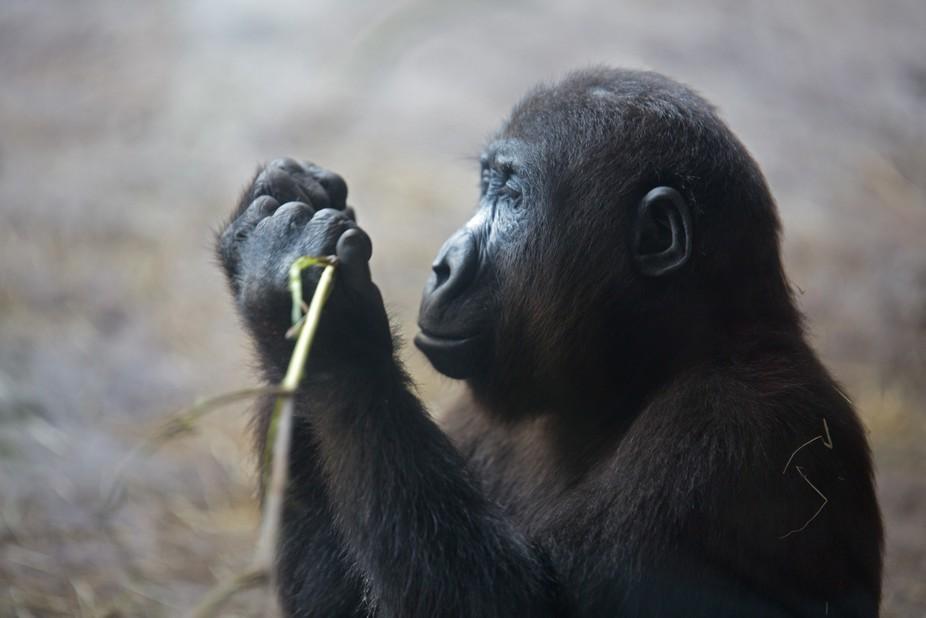 Gorilla Focus