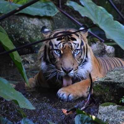 Tiger Cleaning Its Paws