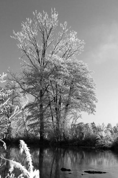 Baum in den Vilsauen im Raureif
