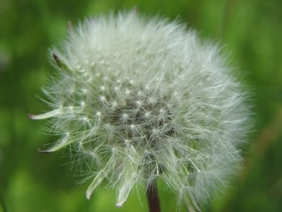 Dandelion fluffy