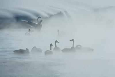 Rainey Creek Swans