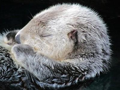 Sea Otter - Lisbonne