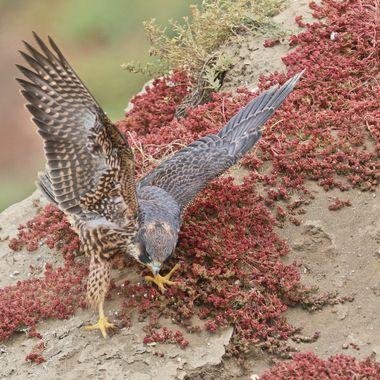 Juvenile Peregrine Falcon IMG_7528
