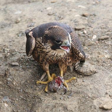 Juvenile Peregrine Falcon IMG_7384