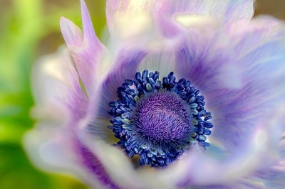 Anemone 'Purple'