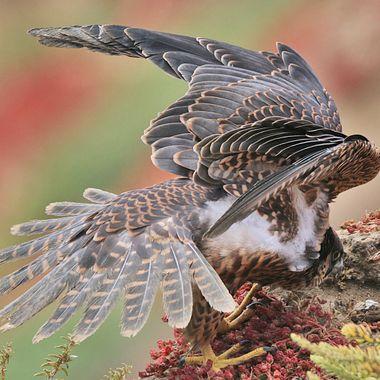 Juvenile Peregrine Falcon IMG_7774