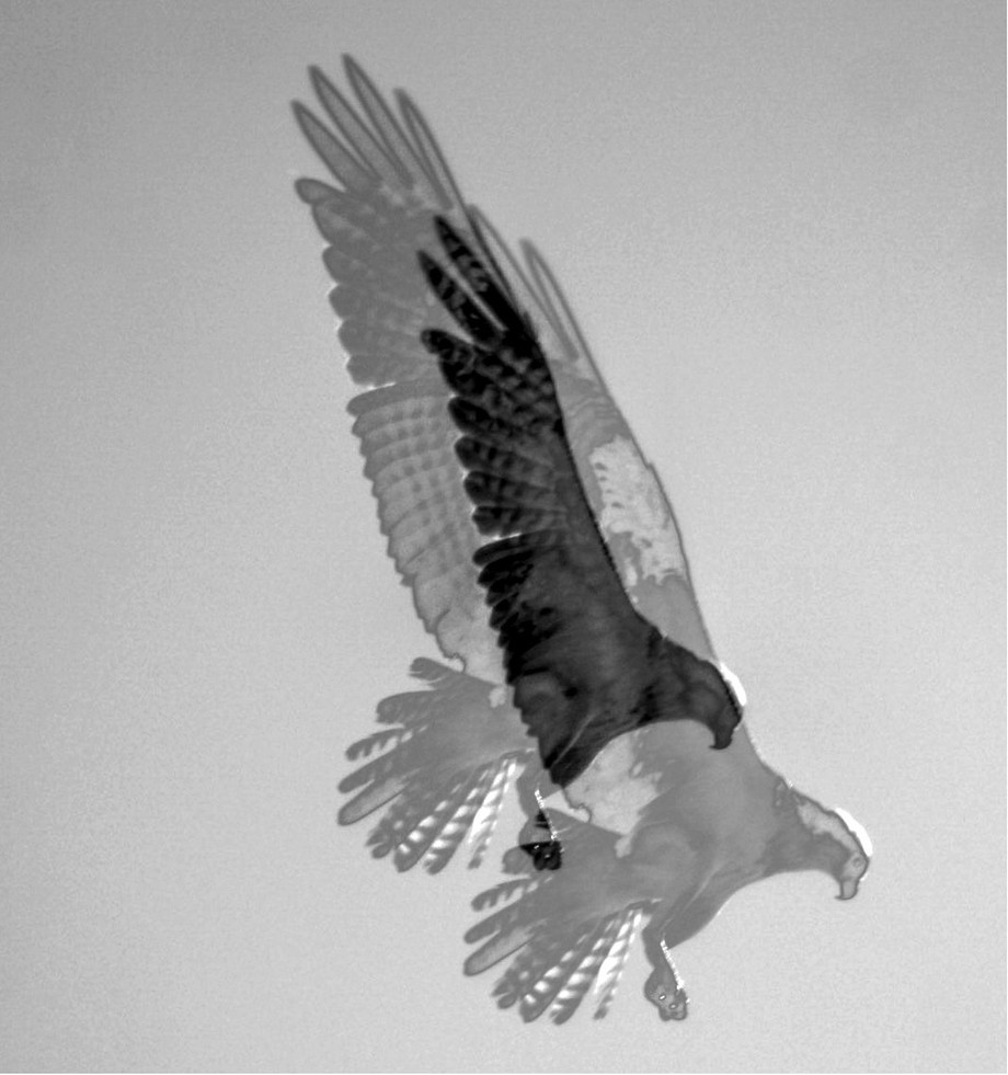 Osprey double exposure in black and white