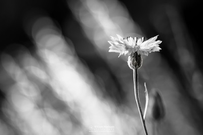 Cornflower Black White