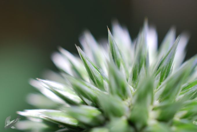 Globe Thistle  by the_igloo - Macro And Patterns Photo Contest