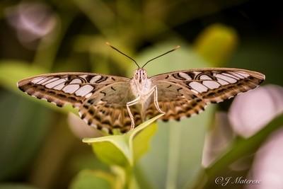 Butterfly 2017 2