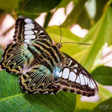 Butterfly 2017 6
