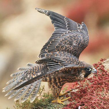 Juvenile Peregrine Falcon IMG_7678