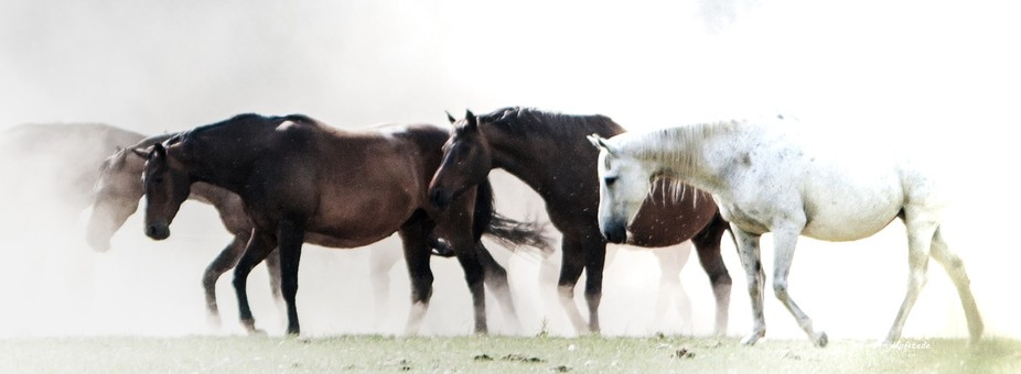 The dusty horses