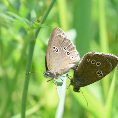 Two Ringlet Butterflies.