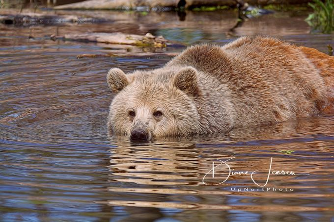 Cooling Off by djensen - Animals And Water Photo Contest