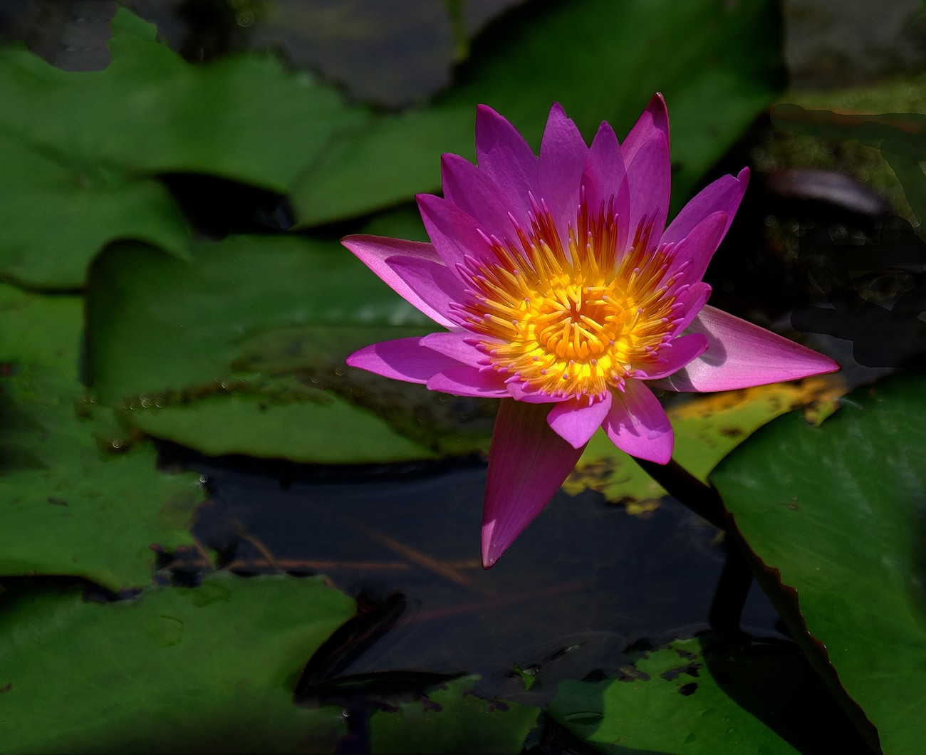 Water Lilly   0027  D4D