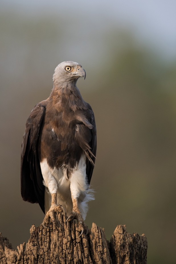 Grey-headed Fish Eagle by angad13 - Monthly Pro Vol 33 Photo Contest