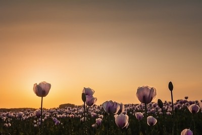 The opium poppy at sunset