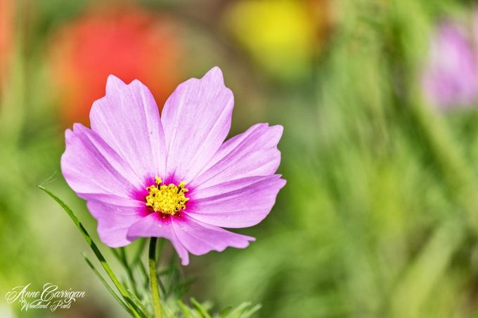 Cosmos Bipinnatus by WoodlandPixels - Bright Colors In Nature Photo Contest