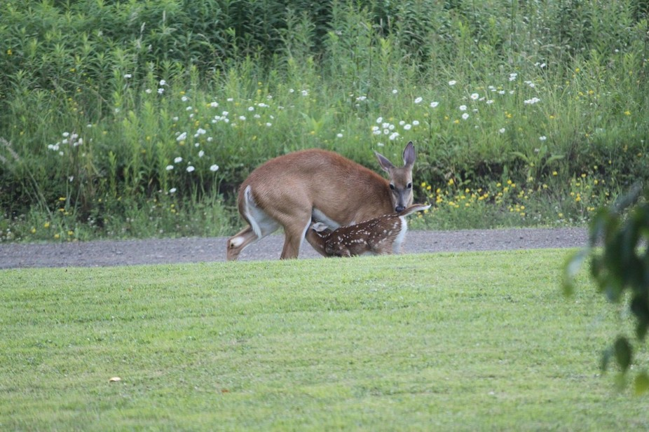 Living in the country has it's perks. Northern Pa in my front lawn, caught this pic on 0...